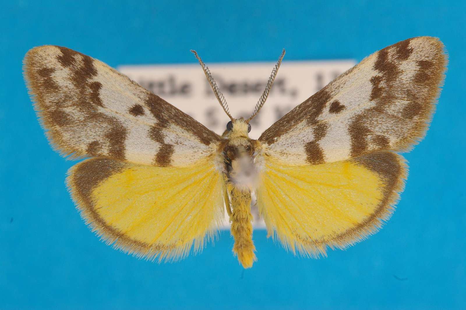 Lichen moth