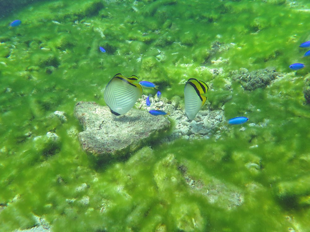 Vagabond Butterflyfish pair