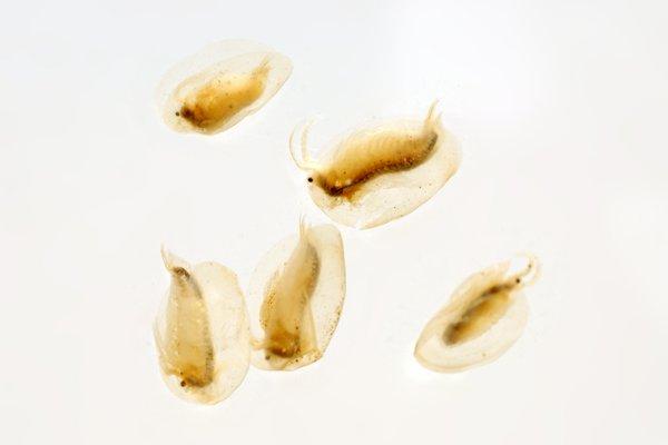 Limnadia sp