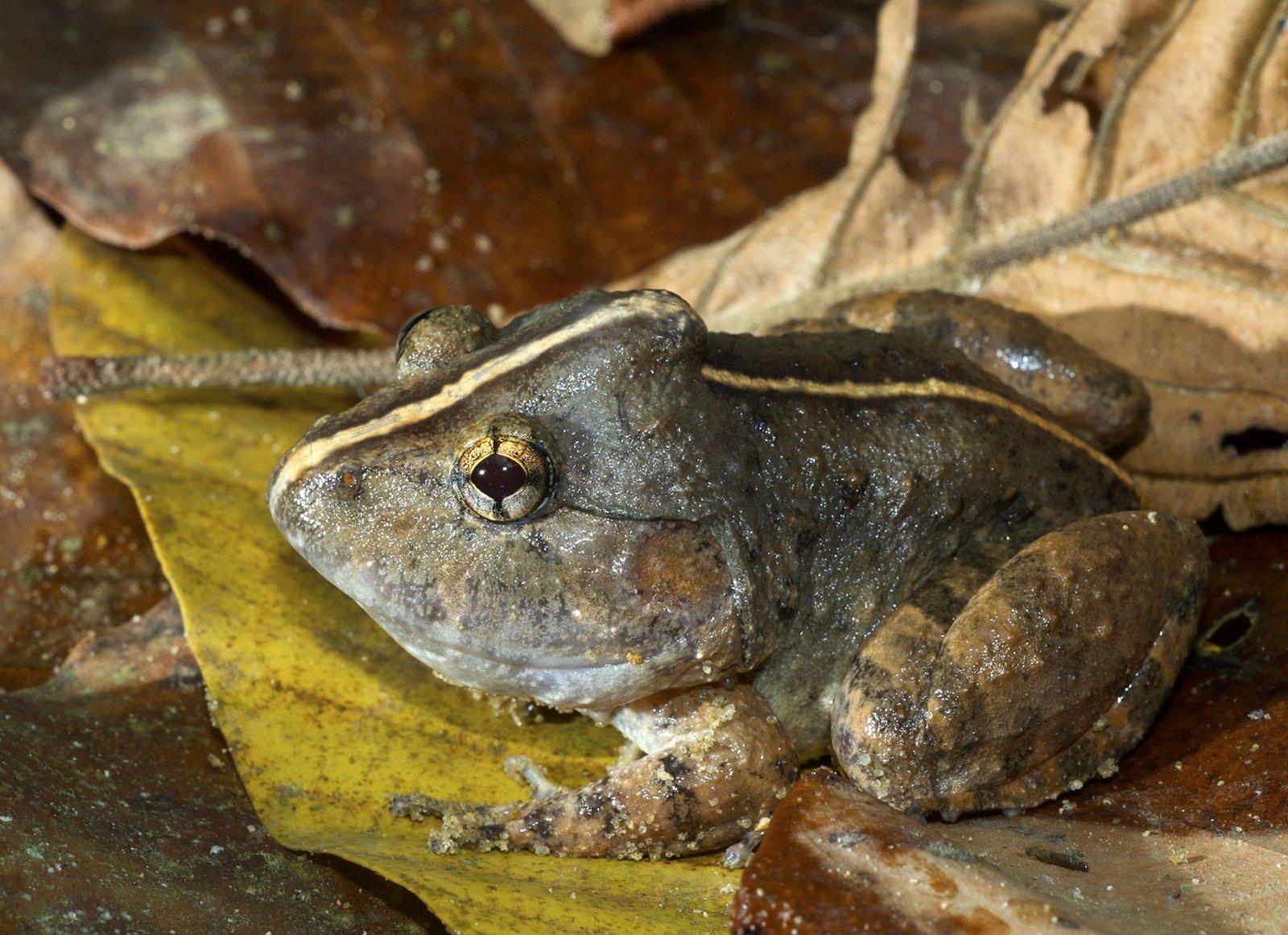 Male Fanged Frog (Limnonectes dabanus)