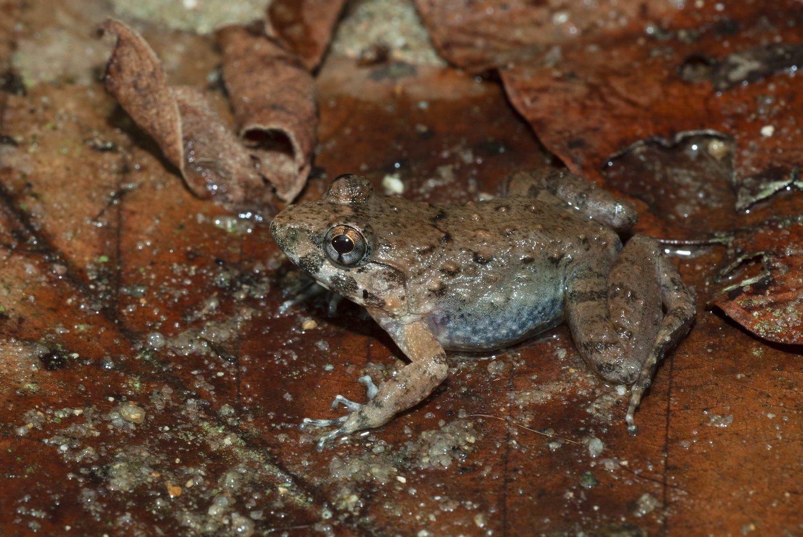 Female Limnonectes dabanus, Vietnam