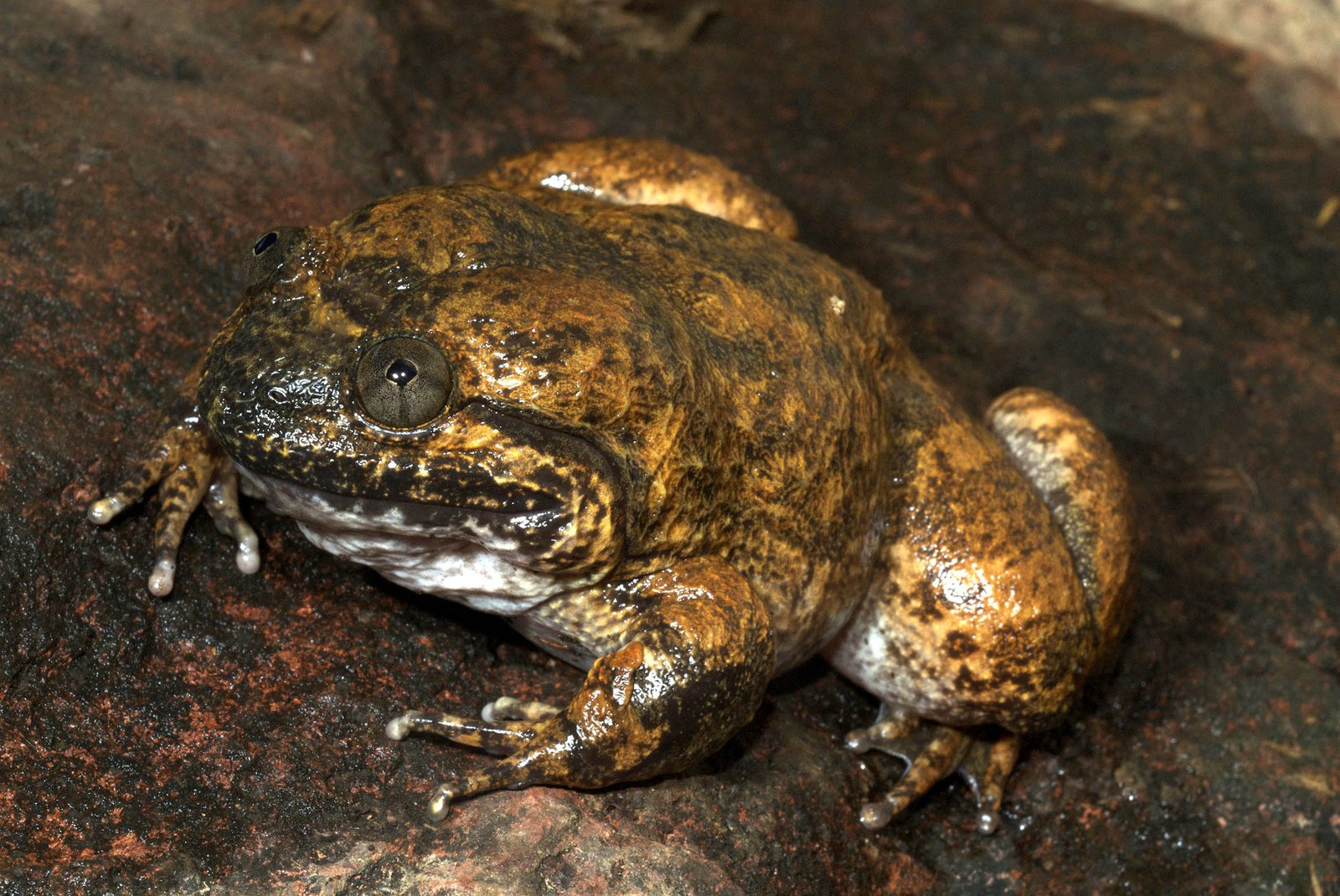 Male Cambodian Fanged Frog
