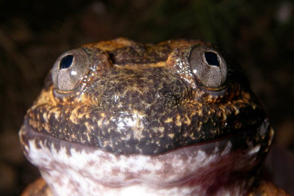 Male Cambodian Fanged Frog (Limnonectes fastigatus)