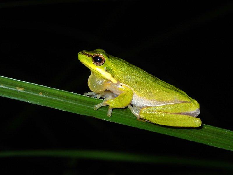 Eastern Dwarf Tree Frog, Litoria fallax
