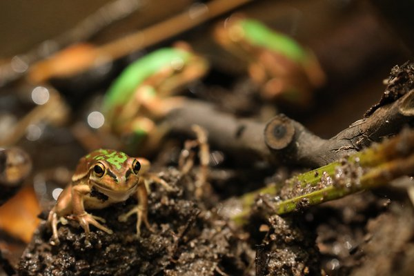 Green and Golden Bell Frog (Litoria aurea).