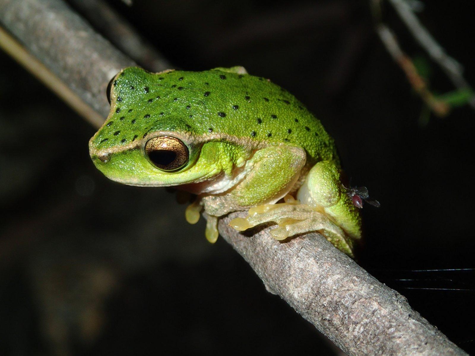 Barrington Tops Tree Frog