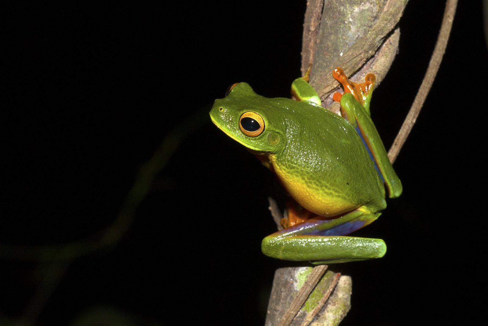 Cape York Graceful Tree Frog