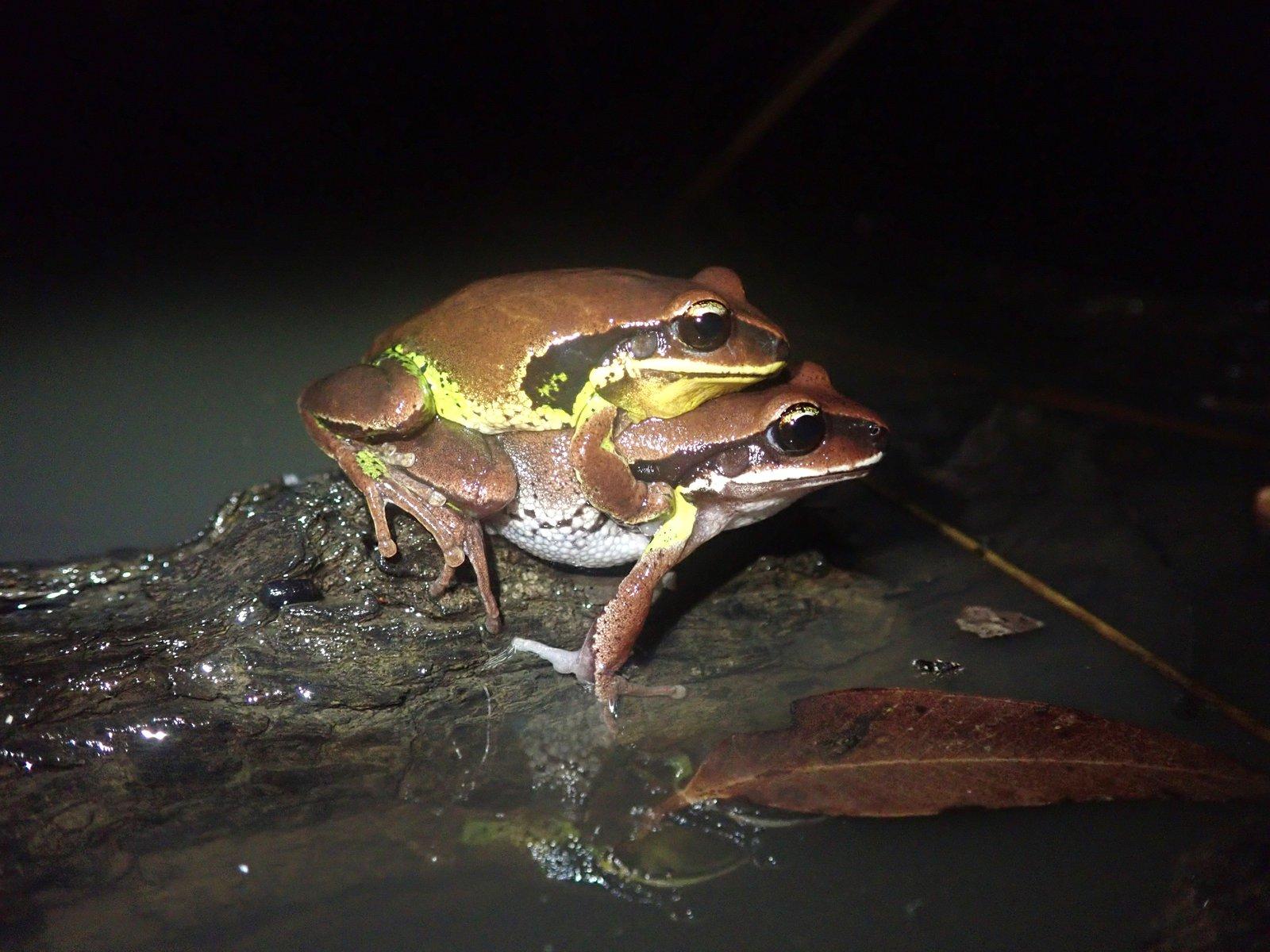 Green-thighed Frog (Litoria brevipalmata).