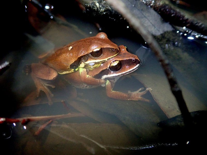 Green-thighed Frog (Litoria brevipalmata).