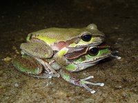 Blue Mountains Tree Frog