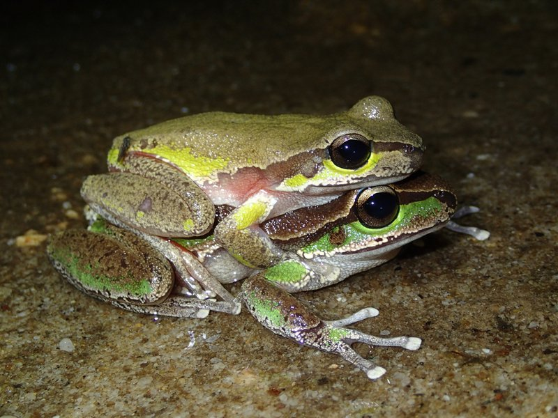 The Blue Mountains Tree Frog
