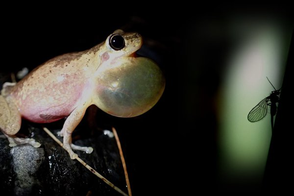 Bleating Tree Frog with Sycorax fly