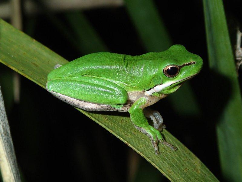 Eastern Dwarf Tree Frog (Litoria fallax) from NSW. Image: Jodi Rowley