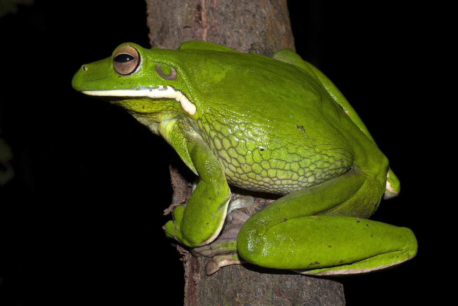 White-lipped Tree Frog (Litoria infrafrenata). [Photographer: Jodi Rowley. Copyright: Jodi Rowley]