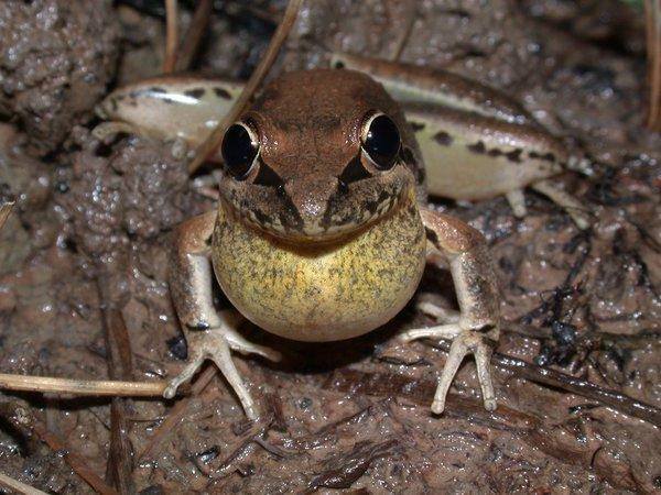 Broad-palmed Frog