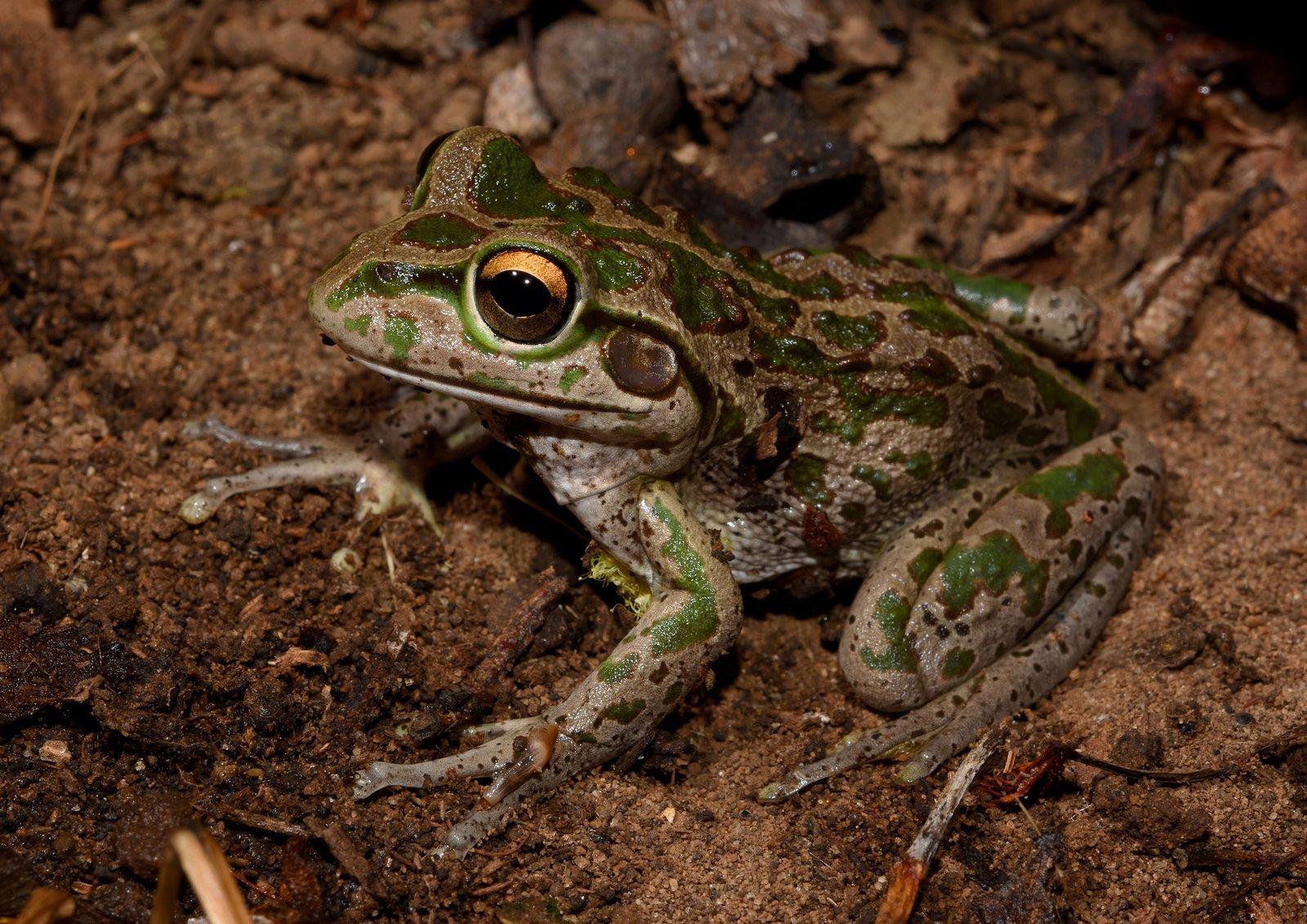 Motorbike frog (Litoria moorei). [Photographer: Jodi Rowley. Copyright: Jodi Rowley]