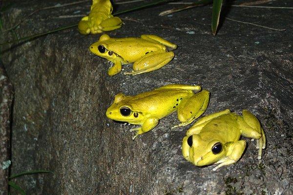 Eastern Stony Creek Frogs