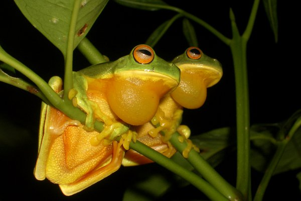 Orange-thighed Tree Frog