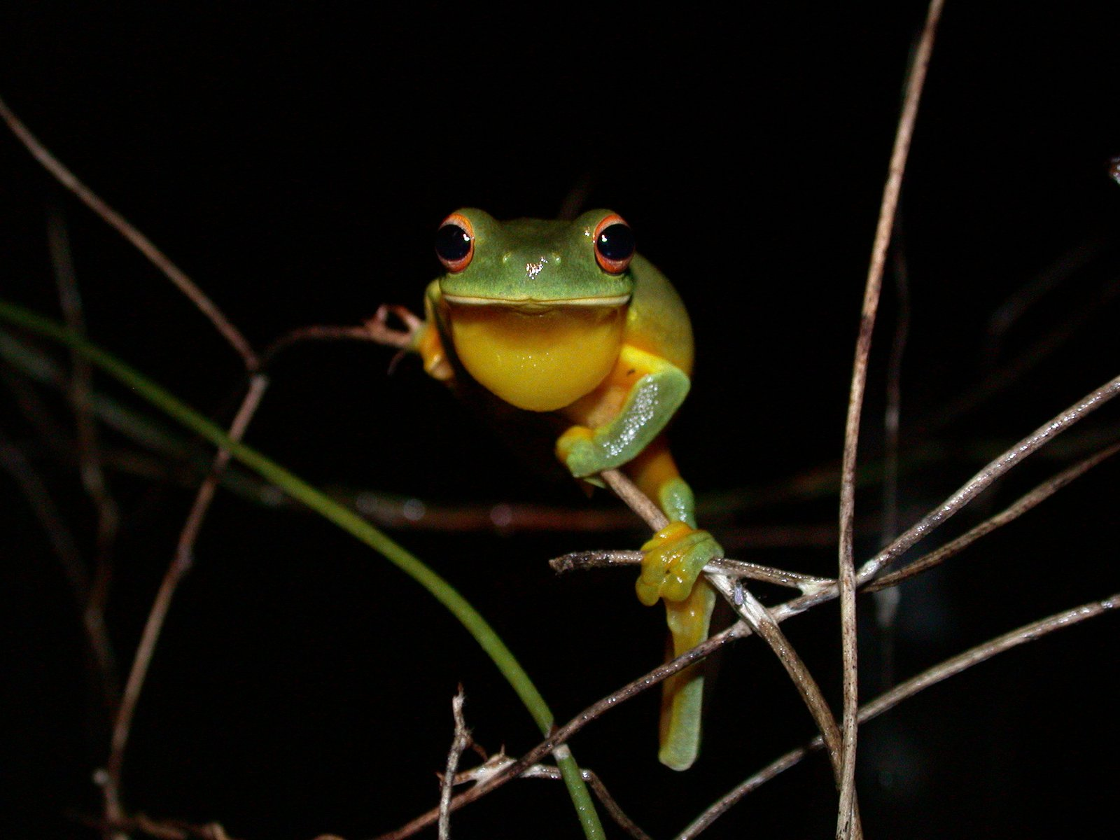 Orange-thighed Tree Frog