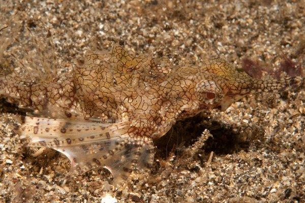 Little Dragonfish, Eurypegasus draconis