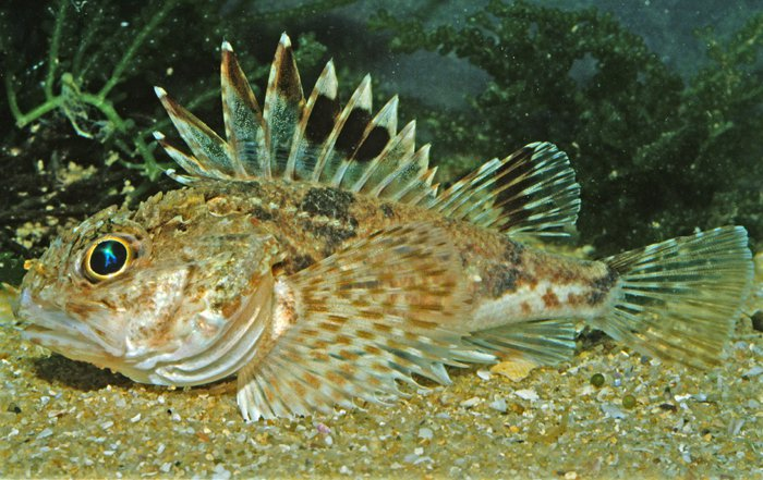 Little Gurnard Perch, <i>Maxillicosta scabriceps</i>