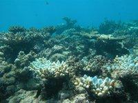 Little Kelso Reef, coral bleaching