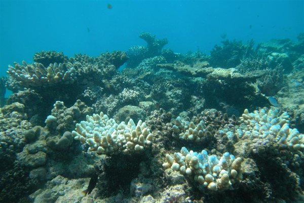 Little Kelso Reef, coral bleaching