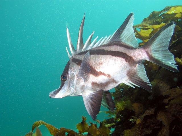 Longsnout Boarfish, <i>Pentaceropsis recurvirostris</i>