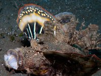 Longsnout Stingerfish, Inimicus didactylus