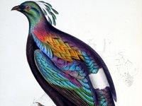 A Century of Birds of the Himalaya Mountains - Lophophorus Impevanus