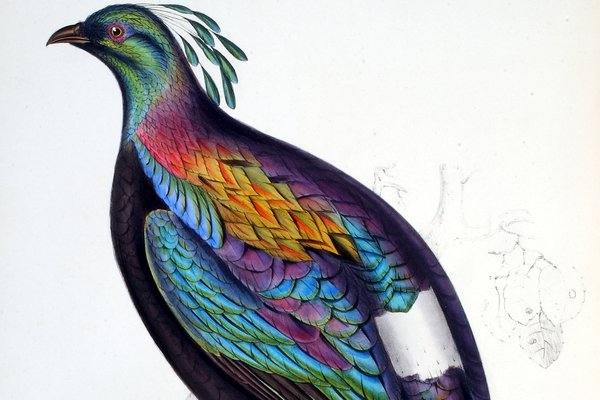 A Century of Birds of the Himalaya Mountains - Lophophorus Impevanus