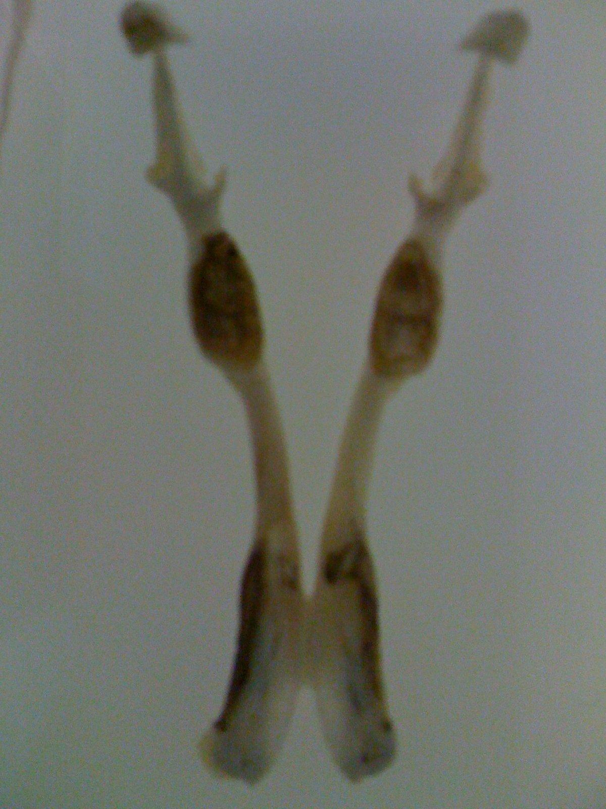 Lower jaw of platypus