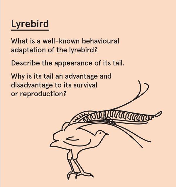 ED_SurvAus_S - Lyrebird