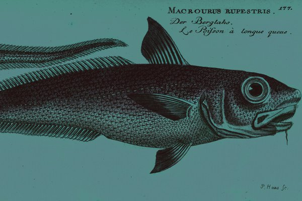 Macourus rupestris illustration - banner