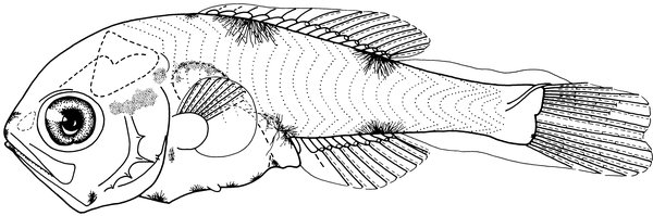 Macquaria novemaculeata, Australian Bass