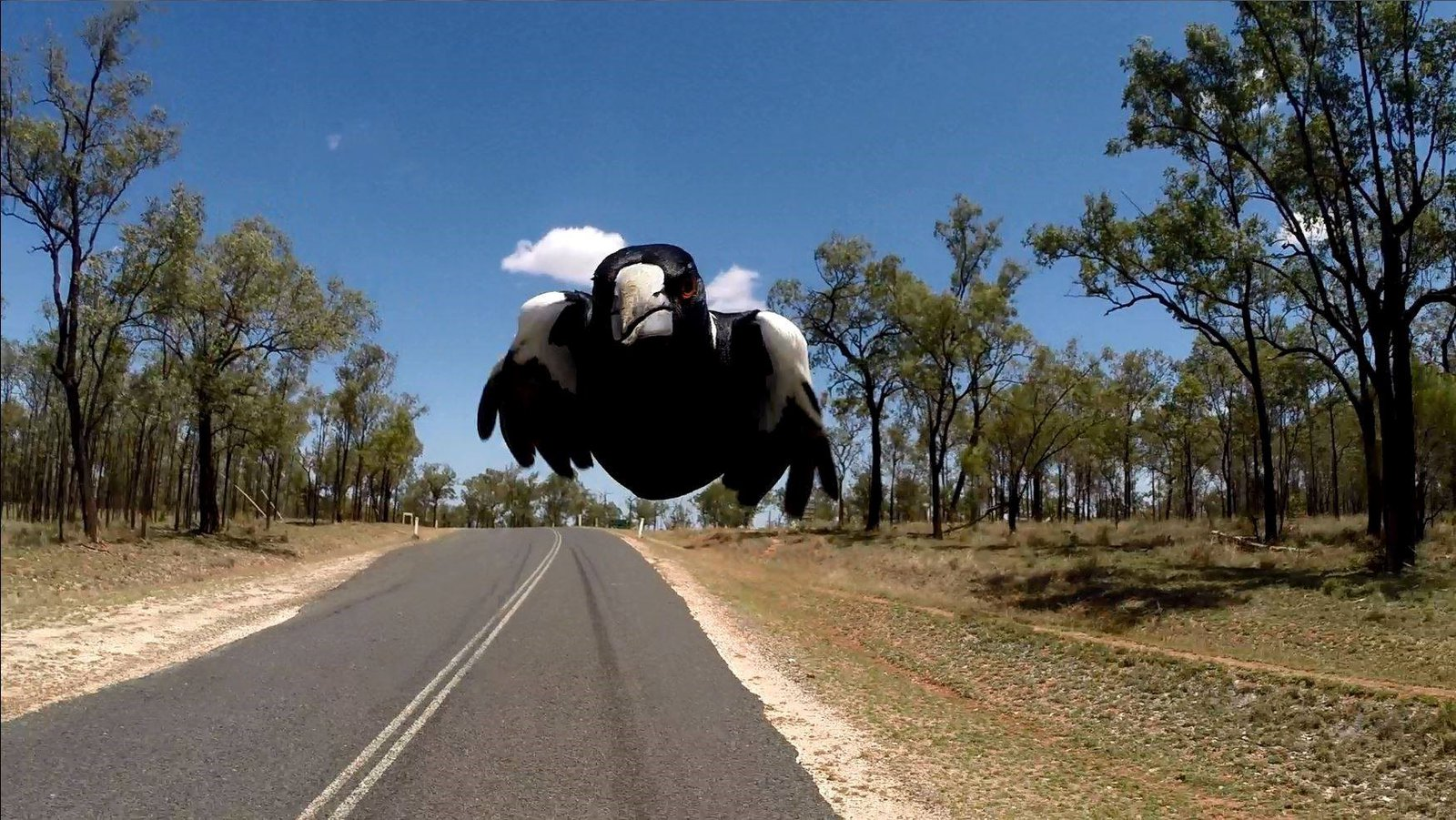 Swooping magpie