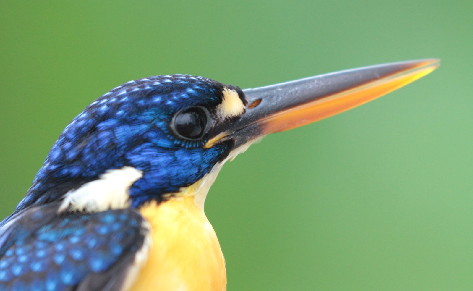 The first photo I took of a Malaita Dwarf-Kingfisher, after it was the first bird caught in the mistnets!