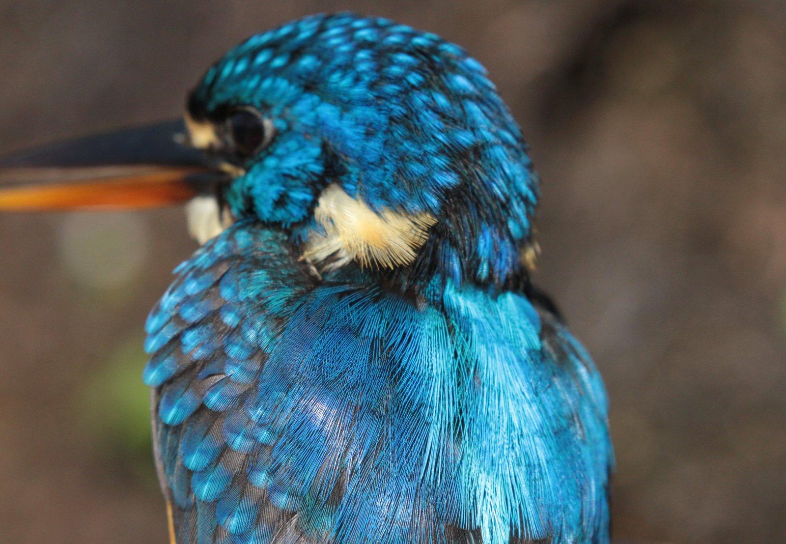 Malaita Dwarf-Kingfisher