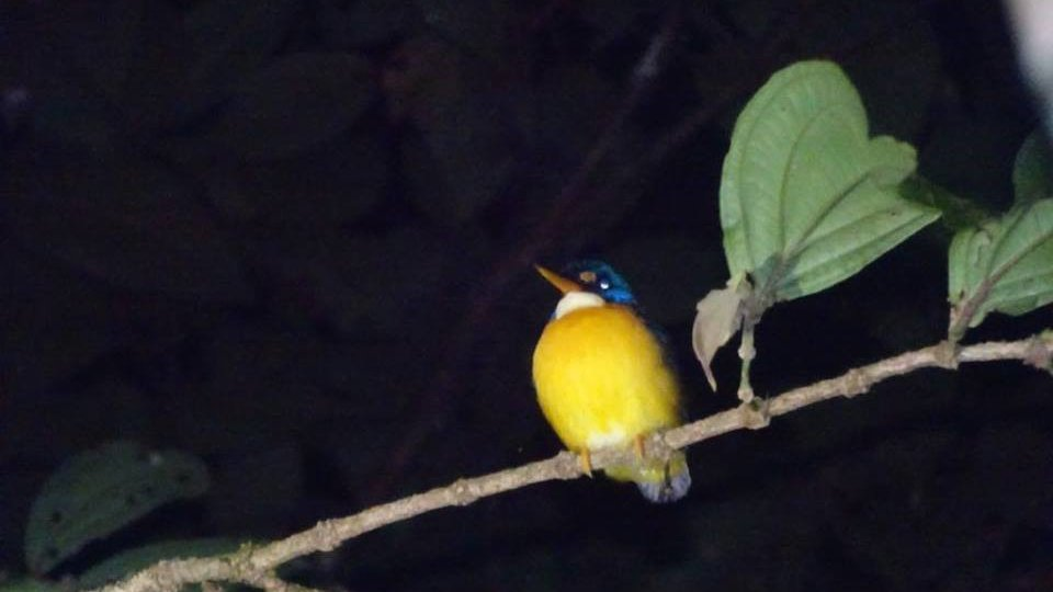 A marginally better photo of the second Malaita Dwarf-Kingfisher that I saw in the wild.