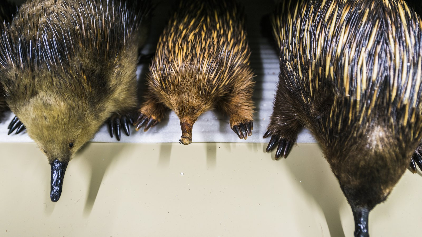 Echidna specimens in Mammalogy Collection Area