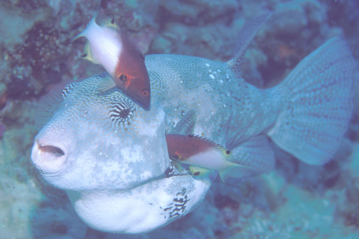 'Map Puffer being cleaned by Axilspot Hogfish