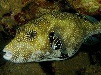 Map Pufferfish, <i>Arothron mappa</i>