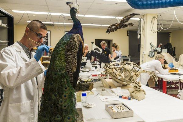 Scientist repairing a peacock specimen