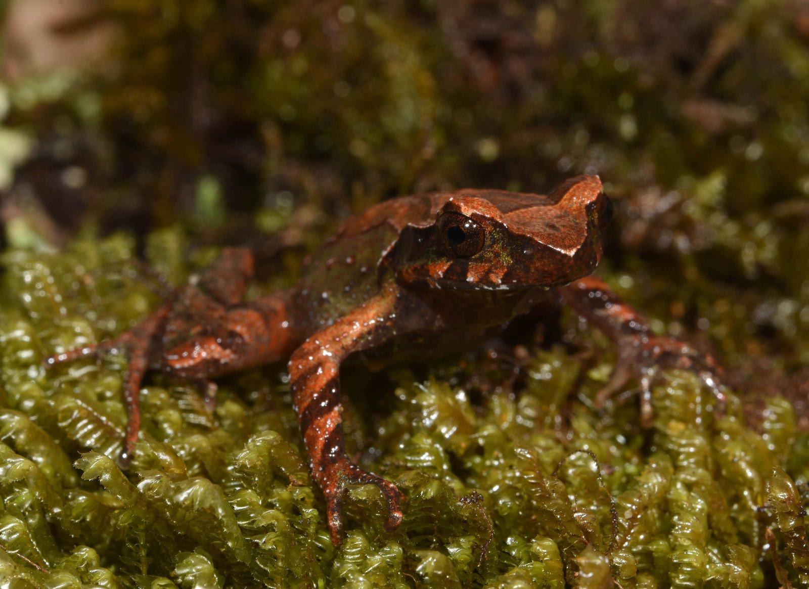 Mount Ky Quan San Horned Frog