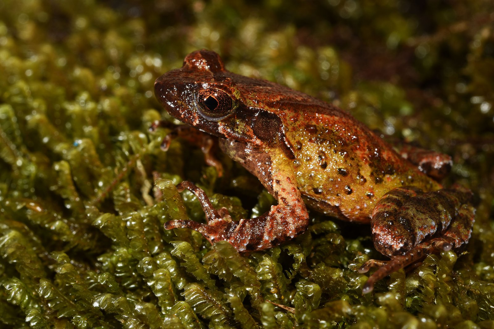 Mount Ky Quan San Horned Frog (Megophrys frigida).