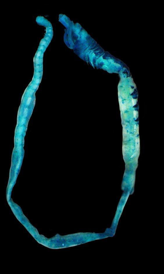 Melinnopsis chadwicki whole specimen stained with methyl blue. Laetitia Gunton AMRI.