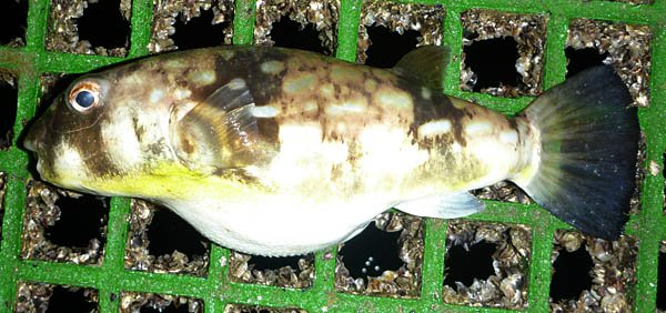 Milkspot Toadfish, Chelonodon patoca