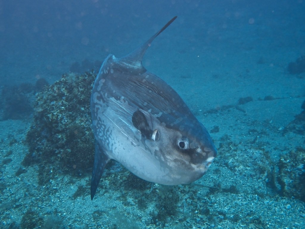 Mola mola Ocean sunfish