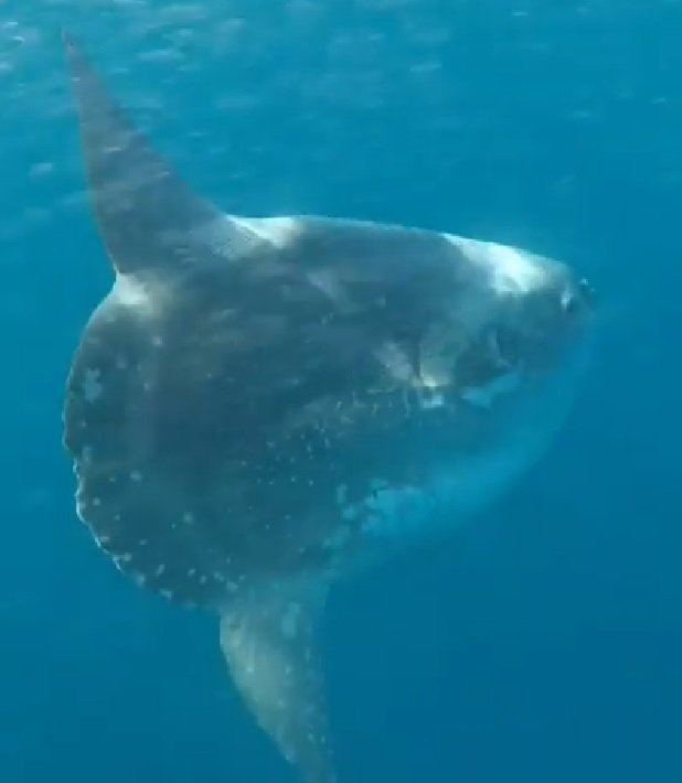 Hoodwinker Sunfish Mola tecta