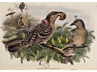 Monograph of the Paradiseidae or Birds of Paradise and Ptilonorh